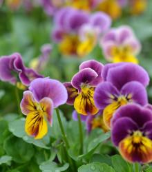 Violka rohatá Sorbet Antique shades - Viola cornuta - osivo violky - 20ks