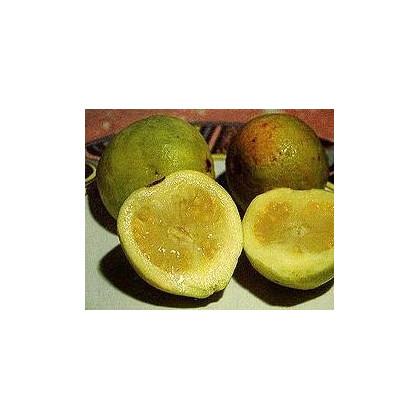 Guave/Kvajáva