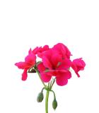 Muškát - Pelargonie