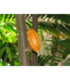 Kakaovník