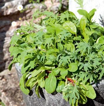 Mix kalifornských salátů - semena salátu - 0,1 gr