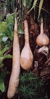 Indická okurka Lagenárie dlouhá - Lagenaria siceraria longissima - 7 ks