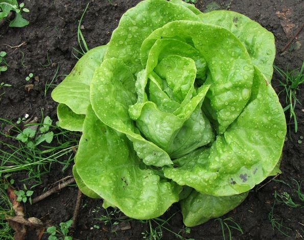 Salát hlávkový k rychlení - Lactusa sativa - semena salátu - 300 ks